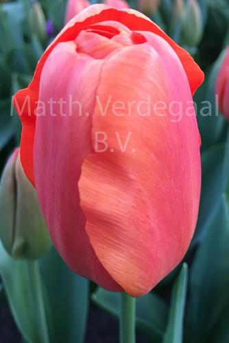 Tulipa Teletubby