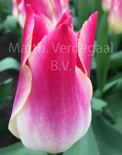 Tulipa Whispering Dream