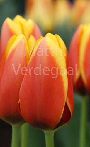 Tulipa Dafeng