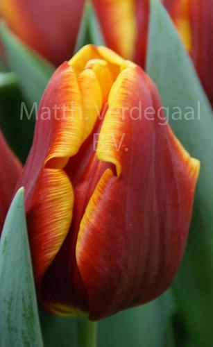Tulipa Devenish