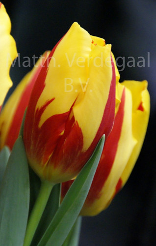 Tulipa Dream Flame