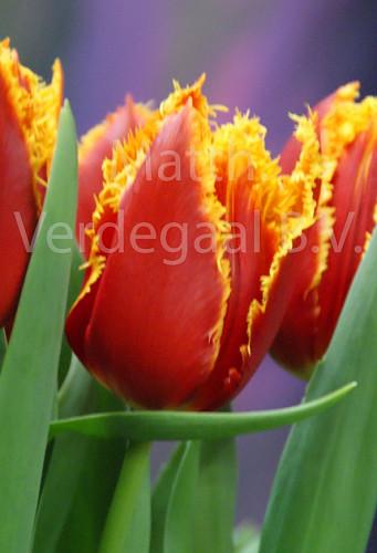 Tulipa Fabio