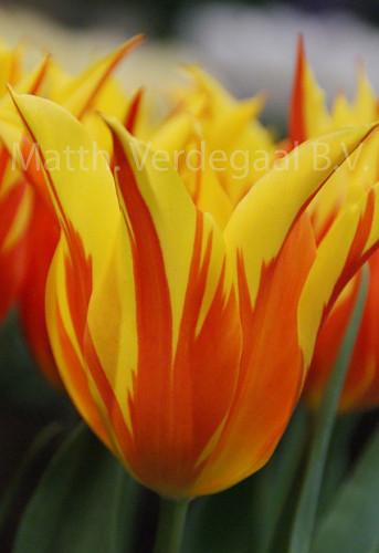Tulipa Frire Wings