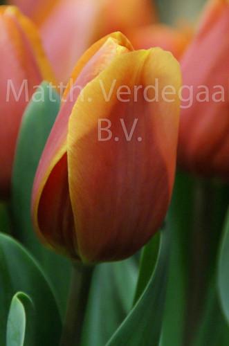 Tulipa Kings Orange