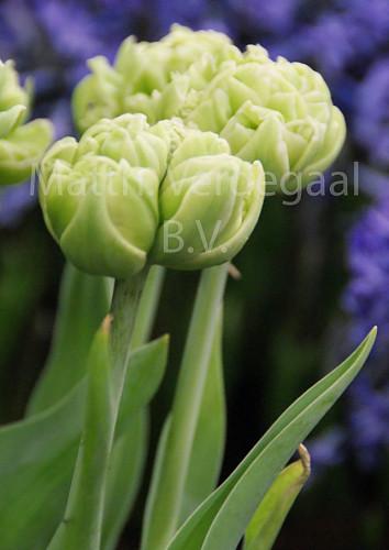 Tulipa Little Queen