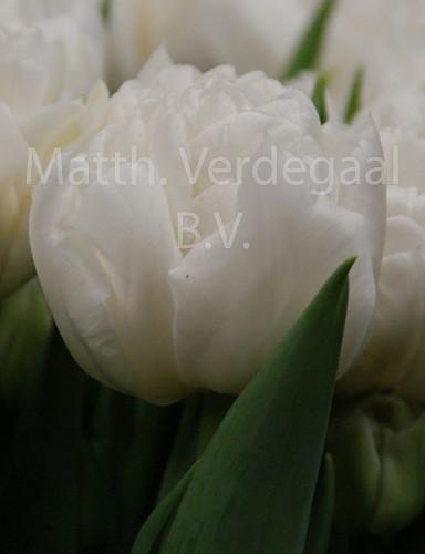 Tulipa Mondial