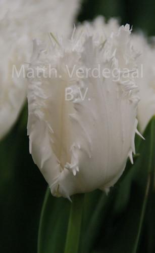 Tulipa Noordeinde