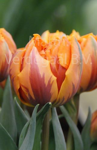 Tulipa Orange Princess