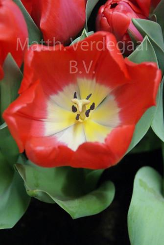 Tulipa Serenity