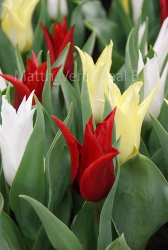 Tulipa Tres Chic Mix