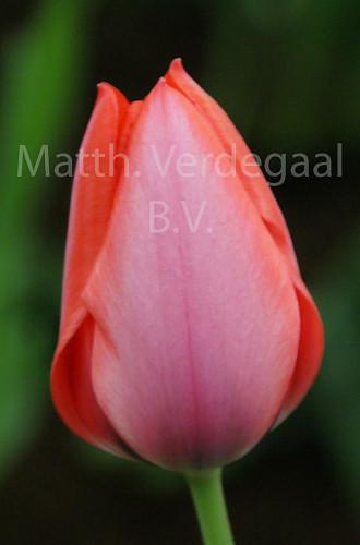 Tulipa Trick