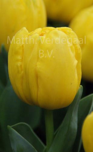 Tulipa Yellow Baby
