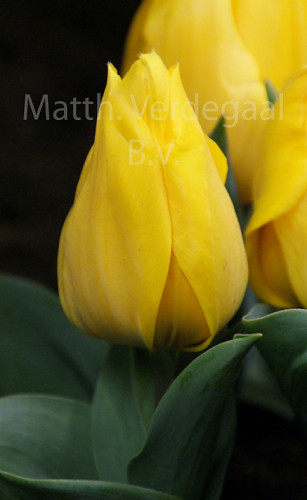 Tulipa Yellow Flair