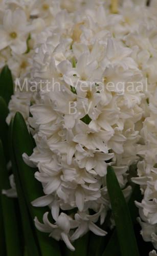 Hyacinthus Avalanche