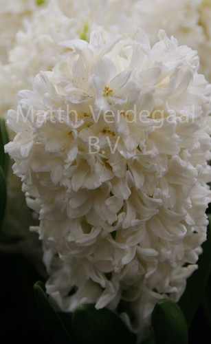 Hyacinthus White Ideal