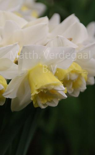Narcissus Popeye