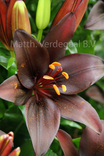 Lilium Dark Secret