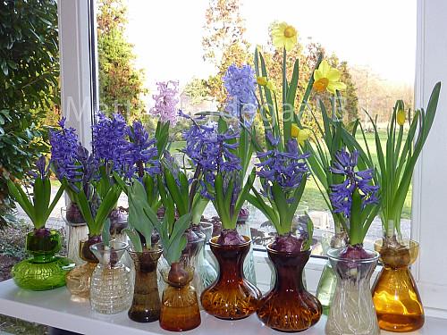 Hyacinthus op glas