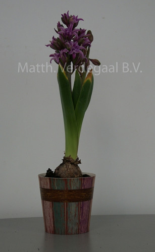 Hyacinthus Twin Pearl Paars