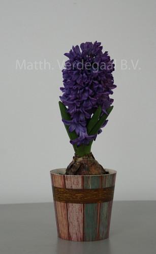 Hyacinthus Violettie Star