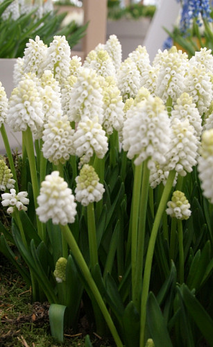 Muscari White Magic