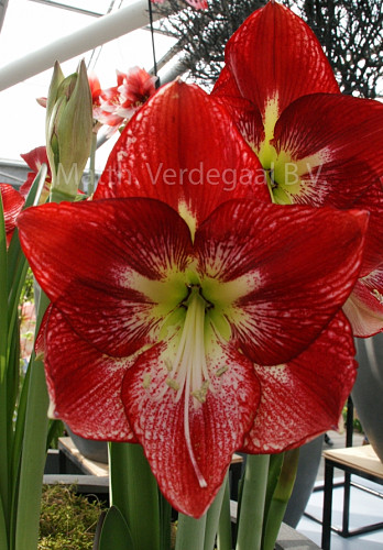 Amaryllis Flamenco Queen