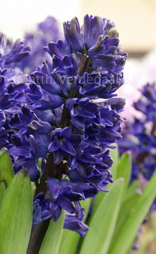 Hyacinthus Blue Saphire
