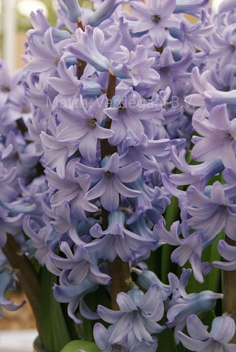 Hyacinthus Caribbean Dream