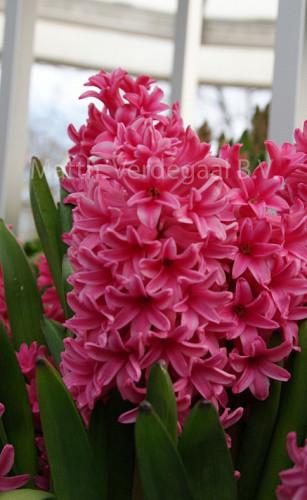 Hyacinthus Sweetheart