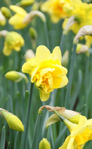 Narcissus Queensday