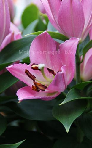 Lilium Souvenir Roze