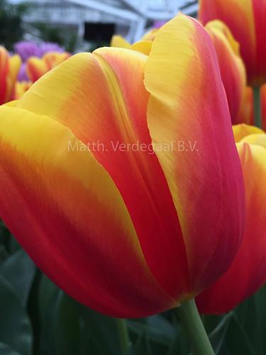 Tulipa Hennie van der Most