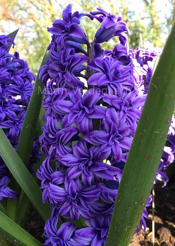 Hyacinthus Chrystal Palace