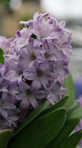 Hyacinthus Growers Rainbow