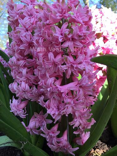 Hyacinthus Rosette
