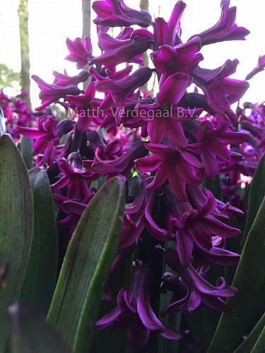 Hyacinthus Showmaster