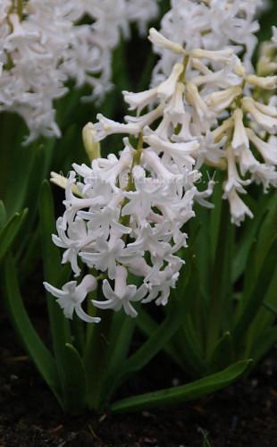 Hyacinthus White Festival