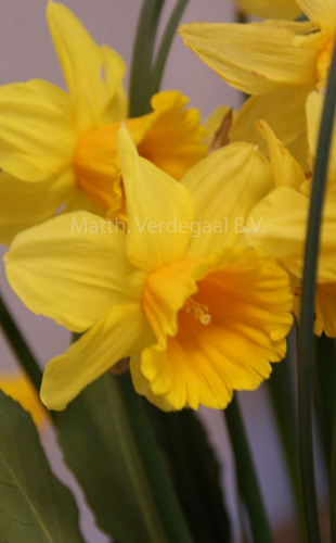 Narcissus Dear Corrine