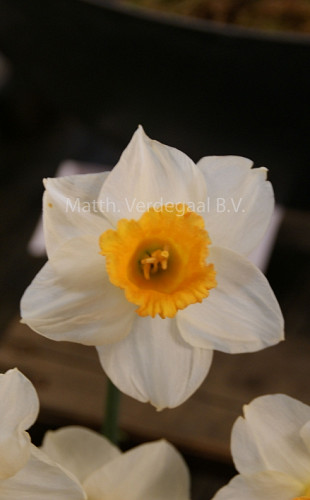 Narcissus Orange Sunset