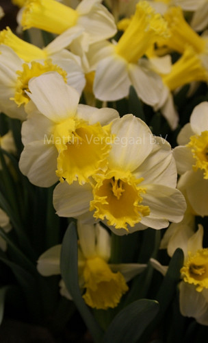 Narcissus Sugar Dipped