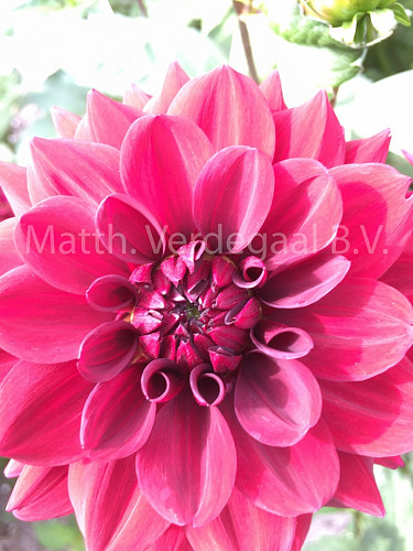 Dahlia Painted Black