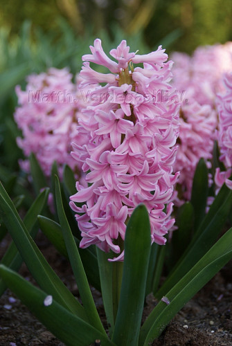 Hyacinthus Pink Surprise