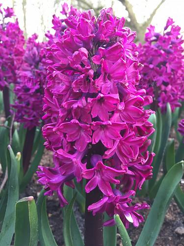 Hyacinthus Woodstock
