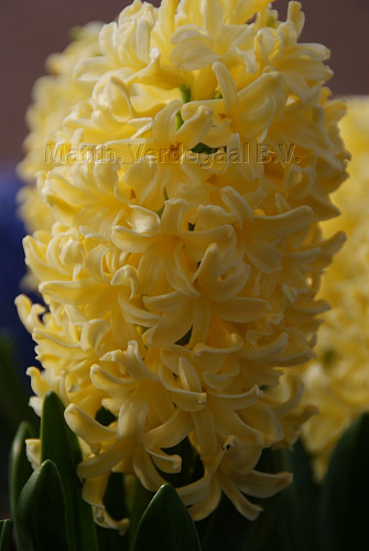 Hyacinthus Yellowstone