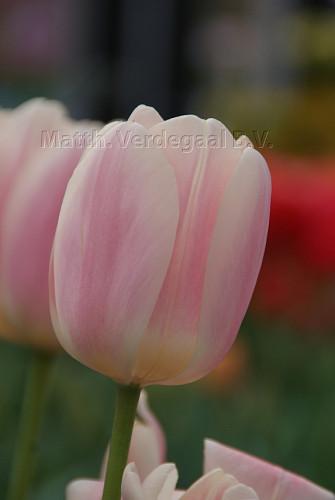 Tulipa Apricot Delight
