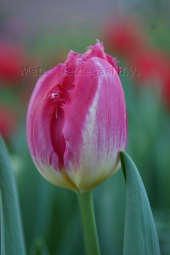 Tulipa Auxerre