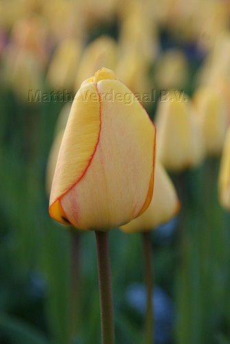 Tulipa Blushing Apeldoorn