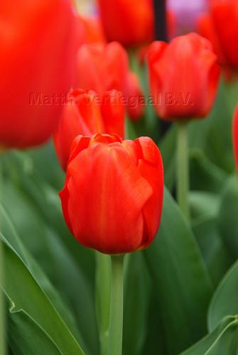Tulipa Bourbon Street