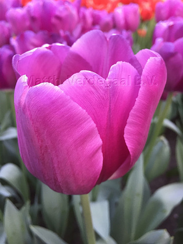 Tulipa Bullit
