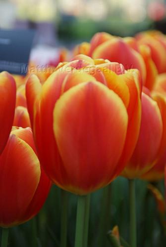 Tulipa Choice
